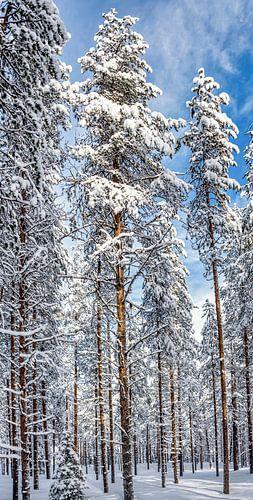 Hoge bomen in Fins bos