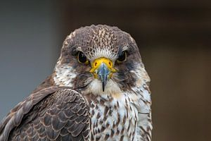 Roofvogel de Buizerd van Robert Dibbits