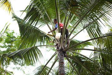 Palmsuiker aftappen van Kees van Dun