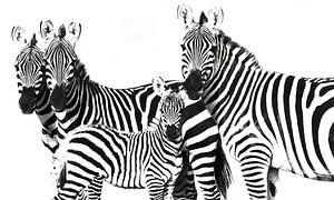 Zebra Familie