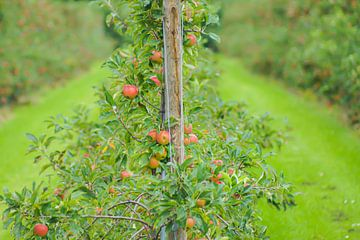 Apfelplantage von Niek Traas