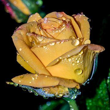 Gele roos na de regen van