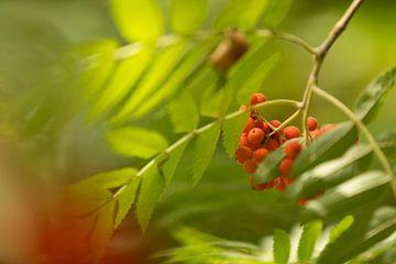 Oranje bessen van lijsterbes sur Marijke van Eijkeren