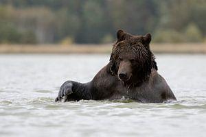 Braunbär ( Ursus arctos, Europäischer Braunbär) beim Bad, Europa.