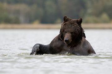 Bruine beer (Ursus arctos, Europese bruine beer) in het bad, Europa. van wunderbare Erde