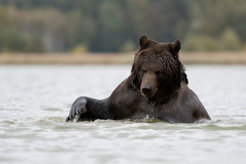 Braunbär ( Ursus arctos, Europäischer Braunbär) beim Bad, Europa. von wunderbare Erde