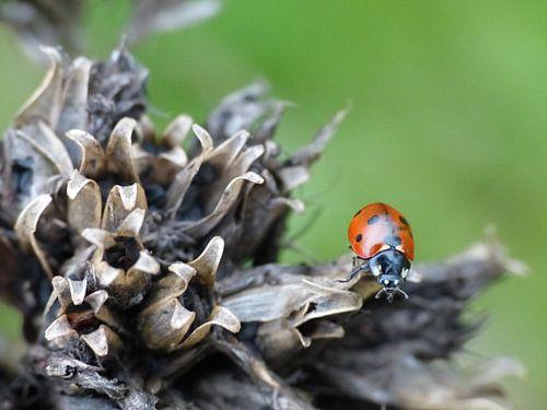 Lieveheersbeestje op uitgebloeide bloem. Collage, drieluik #2 van