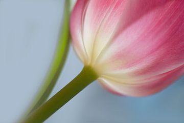 Juste une tulipe sur Birgitte Bergman
