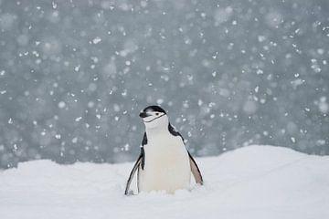 Königsband-Pinguin auf der Halbmondinsel Antarktis von Ron van der Stappen