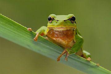 Tree Frog  van wunderbare Erde