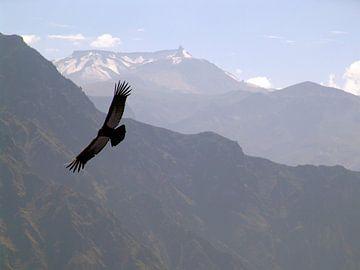 Condor sur erik wuyts
