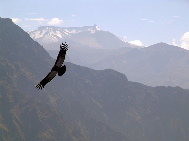 Condor van erik wuyts