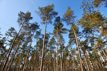 Jonge naaldbomen in de Veluwe van Jolene van den Berg
