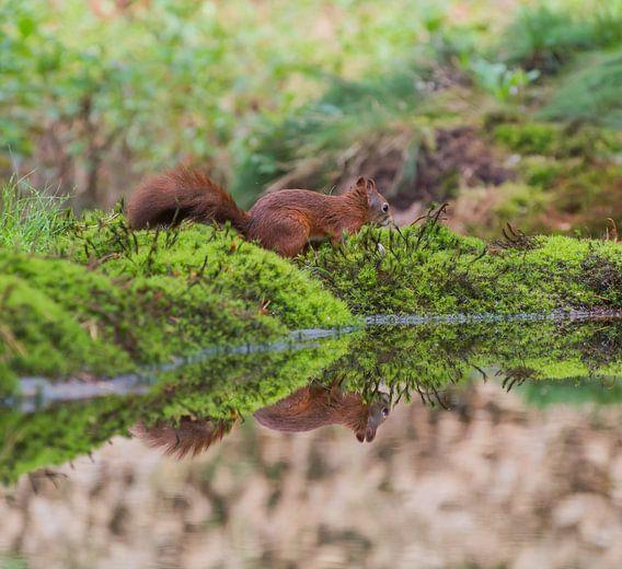 Eekhoorn met spiegeling /Squirrel with reflection