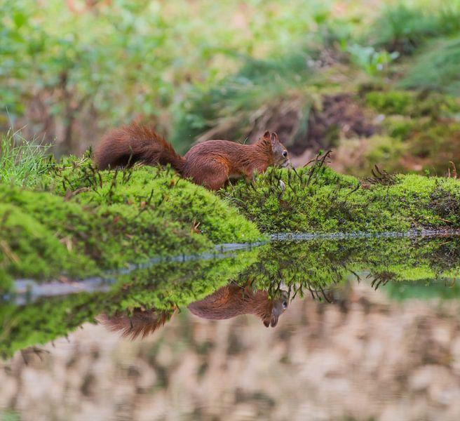 Eekhoorn met spiegeling /Squirrel with reflection van Anna Stelloo