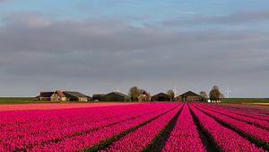 Tulpen voor de boerderij