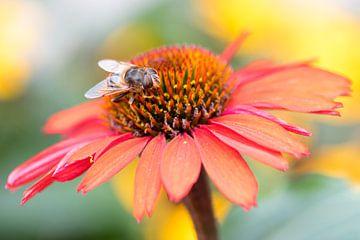 Oranger Sonnenhut mit Biene von Carla Schenk