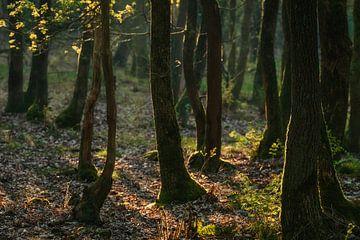 Vroeg zonlicht valt op de bomen in het bos van Anges van der Logt