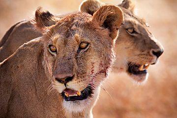 Löwen Serengeti von Paul Jespers