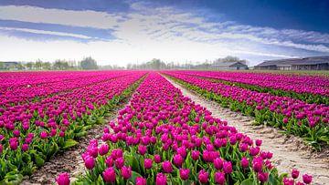 Tulpenveld in Flevoland van
