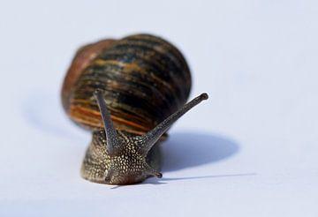 gros plan d'un escargot avec une belle coquille sur Robin Verhoef