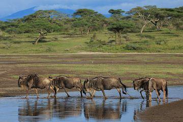 Gnoes tijdens de grote migratie in Tanzania van Anja Brouwer Fotografie