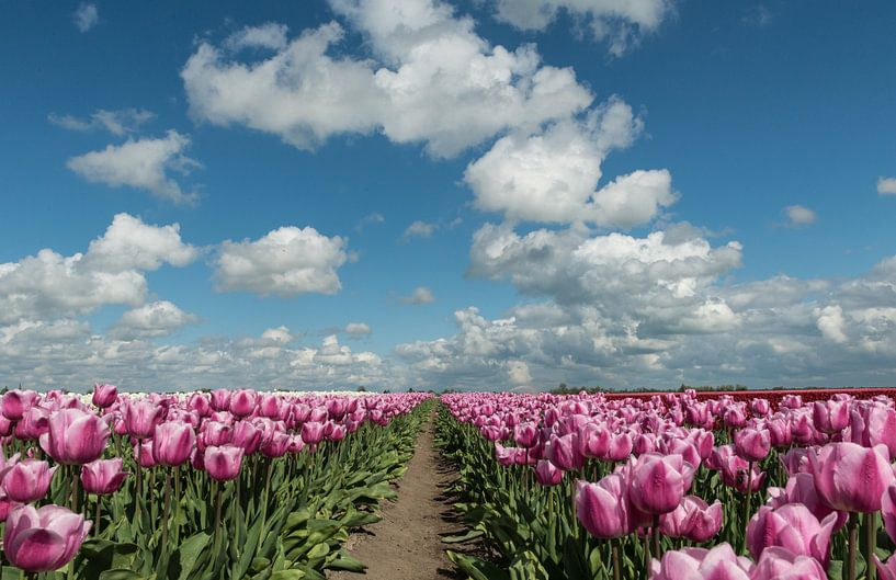 Blooming Tulips! van Robert Kok