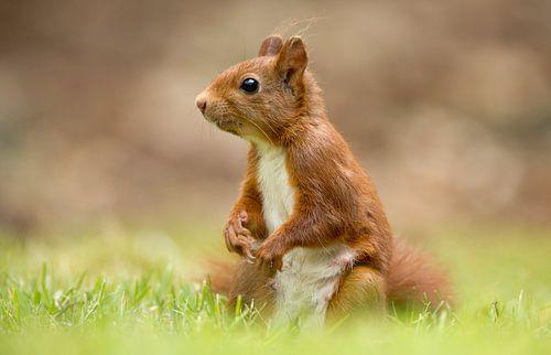 Een eekhoorn van Menno Schaefer