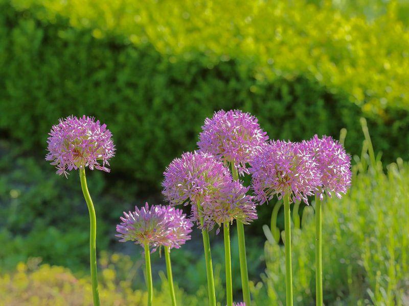 Groepje Allium bloemen van Ronald Smits