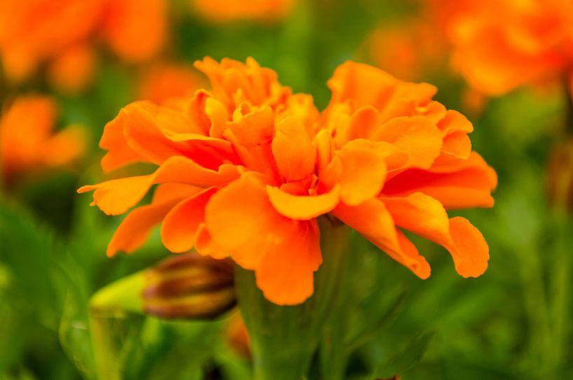 Oranje is mooi van Brian Morgan