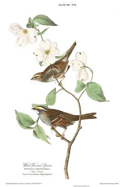 Witkeelgors van Birds of America