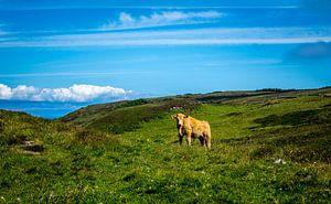 Een koe in de bergen