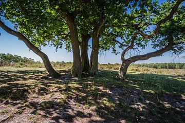 Schaduwboom in NP Maasduinen van Jaap Mulder