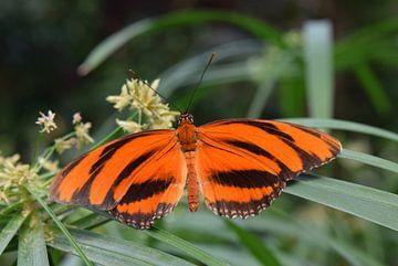 Oranje vlinder van Nicolette Vermeulen