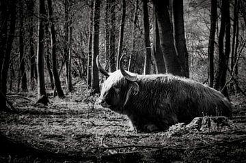 Schotse Hooglander | Rustend in een natuurgebied van Ricardo Bouman