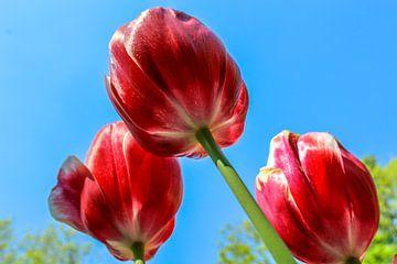 Tulpen van onderaf sur Lindi Hartman