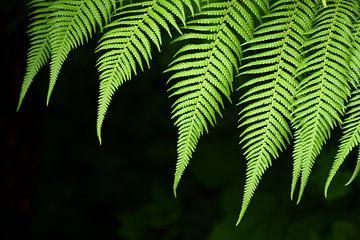 Grüner Farn  vor dunklem Hintergrund von Ulrike Leone