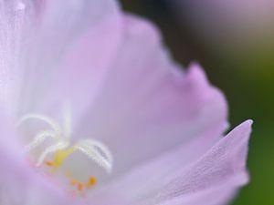 Portulaca in lila