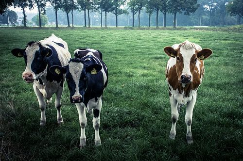 Onze lieve koeienmeisjes