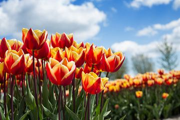 Tulpenveld von Saskia Bon