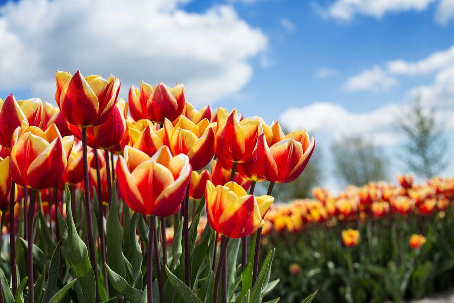 Tulpenveld van Saskia Bon
