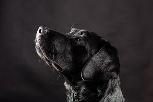 Zwarte hond, Labrador Retriever van