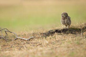 Jüngere Waldkauz lauert auf Beute auf dem Boden. von Jeroen Stel