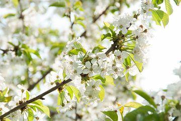 Blüte von Lavieren Photography