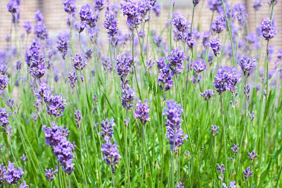 Lavendel van Pieter Wolthoorn
