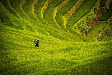 Reisfelder von Jeroen Mikkers