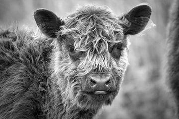Galloway-Rindfleisch von Visueelconcept
