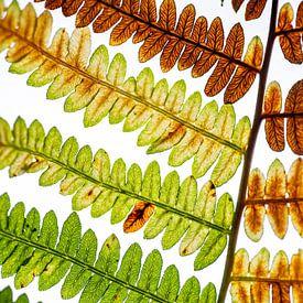 Kleuren in het blad van een varen van Ron Poot
