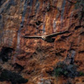Vale gier zwevend voor een rode rots in Andalucia. von Wout Kok