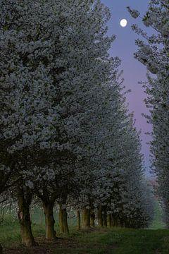 zonsopgang tussen de bloeiende appelbomen met de maan nog hoog in de lucht van Kim Willems